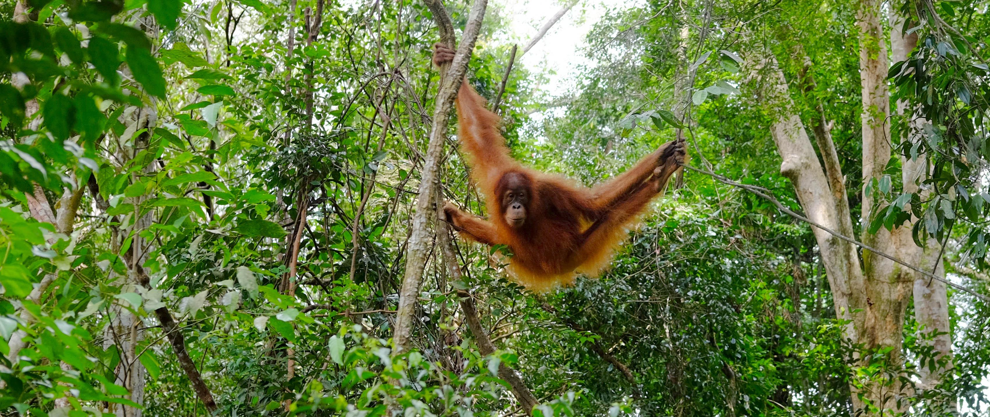 De Orang Oetan Een Roodharige Bosbewoner Natuurwijzer