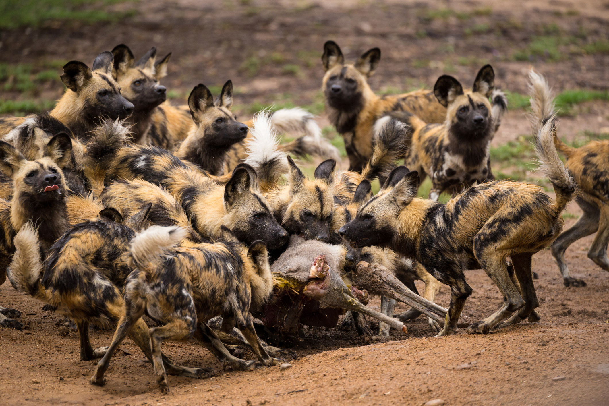 "Résultat de recherche d'images pour ""afrikaanse wilde honden jagen"""