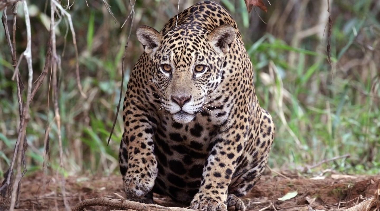 Jaguar.De