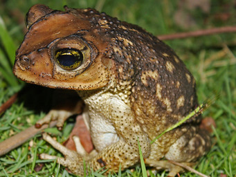 Druppelpad, Spotted toad