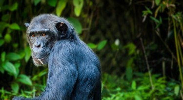 De chimpansee is sterk verwant aan de mens