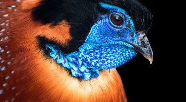 Temmincks saterhoen 2
