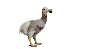 Het dodo model van Jan Hakhof in de collectie van Naturalis.